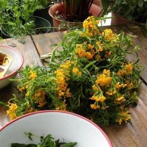 片付かない小屋のテーブル。ハーブの収穫をして連休を過ごしています