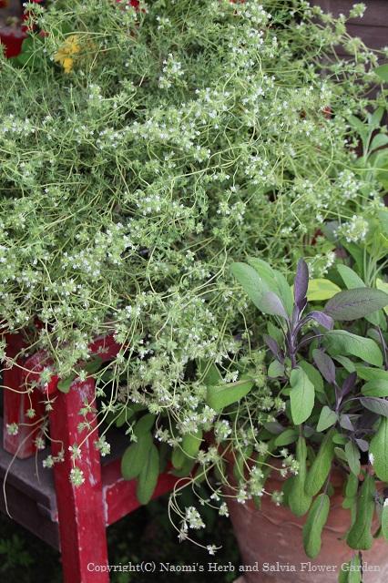 blog32 Thymus mastichina(Mastic thyme)