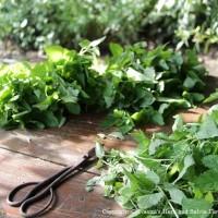 レモンバームの収穫。繋ぎ止めておきたいと思う庭のハーブです。