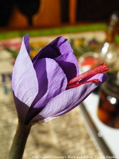 咲きかけたサフラン