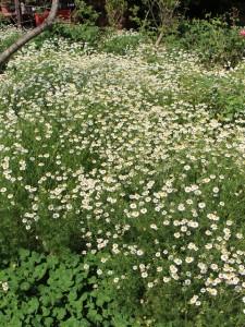 花盛りのカモミール