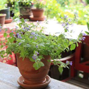 ネペタ 'ライムライト' ライムグリーンの葉のキャットミント