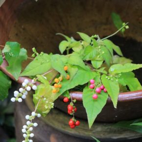 ジュズサンゴの白、黄色、桃色、そして赤い実