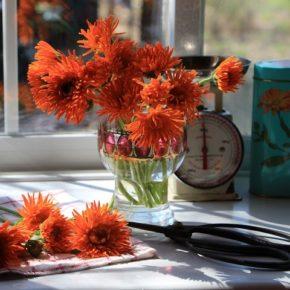 カレンデュラ オフィキナリス'オレンジポーキュパイン' Calendula officinalis 'Orange Porcupine'