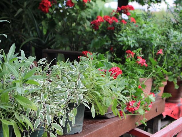ハーブティー用鉢植え
