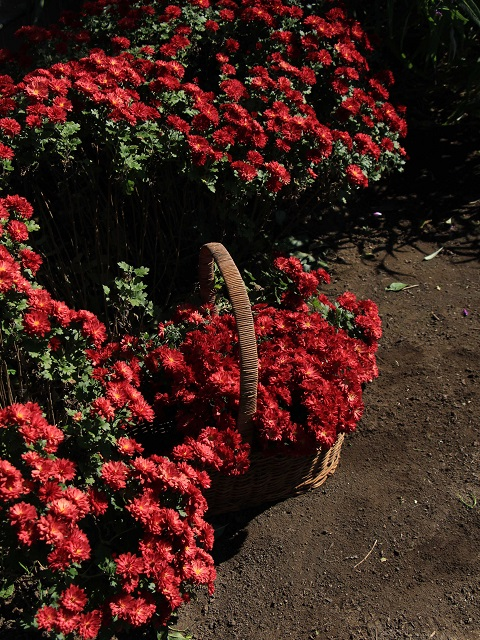 庭の菊を摘んで