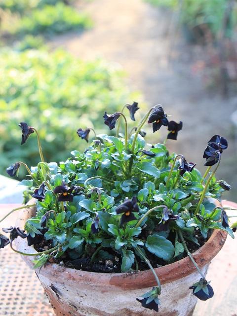 黒いビオラ