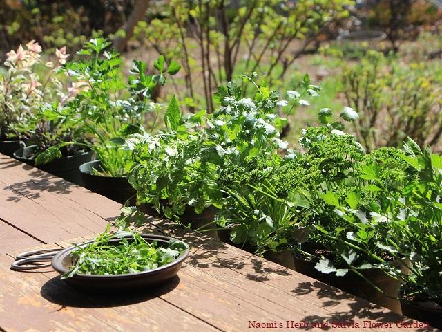 鉢植え野菜を摘む