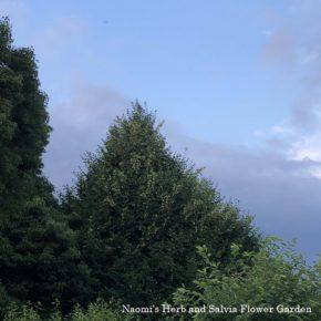 庭のリンデンの木